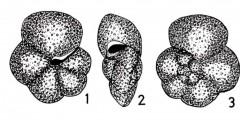 To Mikrotax (Globorotalia nicobarica Srinivasan & Sharma 1969)