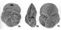 To Mikrotax (Globorotalia (Globorotalia) ichinosekiensis Takayanagi & Oda, in Takayanagi et al. 1976)