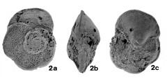 To Mikrotax (Globorotalia (Globorotalia) iwaiensis Takayanagi & Oda, in Takayangi et al. 1976)