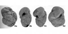 To Mikrotax (Globorotalia (Turborotalia) rikuchuensis Takayanagi & Oda, in Takayanagi et al. 1976)