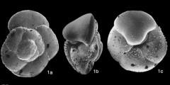 To Mikrotax (Globorotalia crozetensis Thompson 1973)
