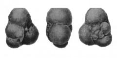 To Mikrotax (Globigerina pera Todd 1957)