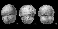 To Mikrotax (Globigerinoides bisphericaTodd, in Todd et al. 1954)