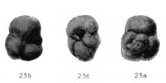 To Mikrotax (Globorotalia oscitans Todd 1958)