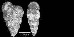 To Mikrotax (Guembelina paucistriata Albritton 1937)