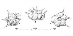 To Mikrotax (Schackoinella Weinhandl 1958)