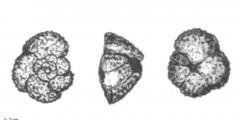 To Mikrotax (Globigerina angulata White 1928)