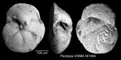 To Mikrotax (Globorotalia barisanensis LeRoy 1939)