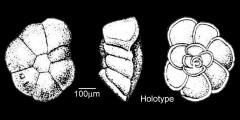 To Mikrotax (Globorotalia conicotruncata Subbotina 1947)