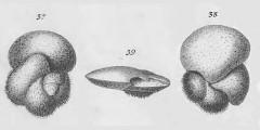 To Mikrotax (Rotalina hirsuta d'Orbigny 1839)