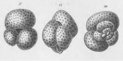 To Mikrotax (Globigerina canariensis d'Orbigny 1839)