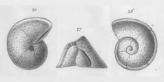 To Mikrotax (Rotalina truncatulinoides d'Orbigny 1839)
