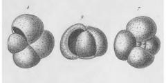To Mikrotax (Globigerina inflata d'Orbigny, 1839)