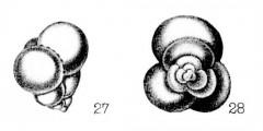 To Mikrotax (Candeina nitida d'Orbigny 1839)