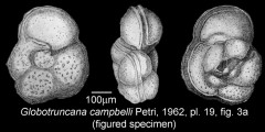 To Mikrotax (Globotruncana campbelli Petri 1962)