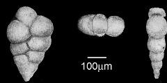 To Mikrotax (Guembelina ventilabrelliformis Van der Sluis 1950)