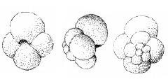 To Mikrotax (Globigerina helvetojurassica Haeusler, 1881 emend. Oesterle 1968)