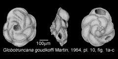 To Mikrotax (Globotruncana goudkoffi Martin 1964)