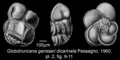 To Mikrotax (Globotruncana (Rugotruncana))