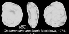 To Mikrotax (Globotruncana arcaformis Maslakova 1974)