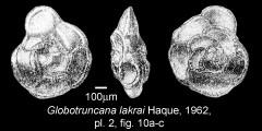 To Mikrotax (Globotruncana lakrai Haque 1962)