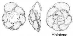 To Mikrotax (Marginotruncana pileoliformis Lamolda 1977)