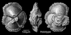 To Mikrotax (Globorotalia marginodentata Subbotina 1953)