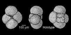 To Mikrotax (Globigerina hagni Gohrbandt 1967)