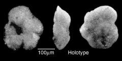 To Mikrotax (Globorotalia minuta Bermúdez 1961)