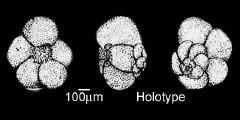 To Mikrotax (Globorotalia berwaliana Mohan & Sodoon 1969)