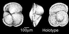 To Mikrotax (Globorotalia praenartanensis Shutskaya 1956)