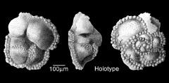 To Mikrotax (Globorotalia bollii El Naggar 1966)