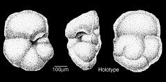 To Mikrotax (Globorotalia hungarica Samuel 1972)