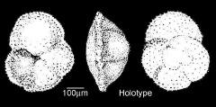 To Mikrotax (Globorotalia nartanensis Shutskaya 1956)