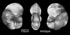 To Mikrotax (Pseudohastigerina acutimarginata Abdel-Kireem 1980)