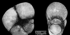 To Mikrotax (Pseudohastigerina pellucida Abdel-Kireem 1980)
