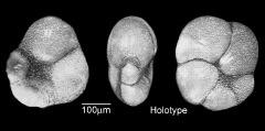 To Mikrotax (Pseudohastigerina quadrata Abdel-Kireem 1980)
