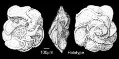To Mikrotax (Globotruncana undulata Lehmann 1963)