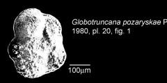 To Mikrotax (Globotruncana pozaryskae Peryt 1980)