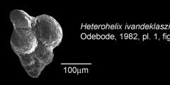 To Mikrotax (Heterohelix ivandeklaszi Odebode 1982)