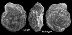 To Mikrotax (Pulvinulina arca Cushman 1926)