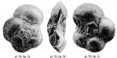 To Mikrotax (Praeglobotruncana (Falsomarginotruncana) Salaj 1987)