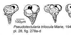 To Mikrotax (Pseudotextularia trilocula Marie 1941)