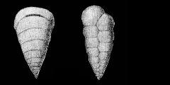 To Mikrotax (Cuneolina elegans Rzehak 1891)