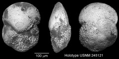 To Mikrotax (Globorotalia margaritae Bolli & Bermudez 1965)