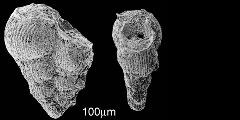 To Mikrotax (Textularia striata Ehrenberg 1840)