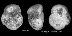 To Mikrotax (Globorotalia (Turborotalia)oceanica Cushman & Bermudez 1949)