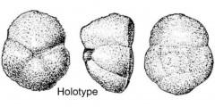 To Mikrotax (Acarinina proxima Pishvanova 1964)