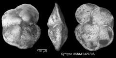 To Mikrotax (Globorotalia pseudomiocenica Bolli & Bermudez 1965)
