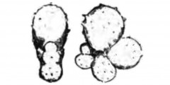 To Mikrotax (Globigerina radians Egger 1893)